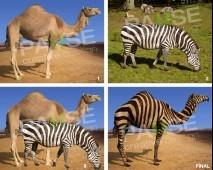 Zebra ve Deve Manipülasyon Montaj (Before - After)